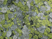 Maplike patches of green and gray lichen — Stock Photo