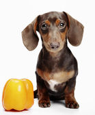 Dachshund & Pepper — Stock Photo