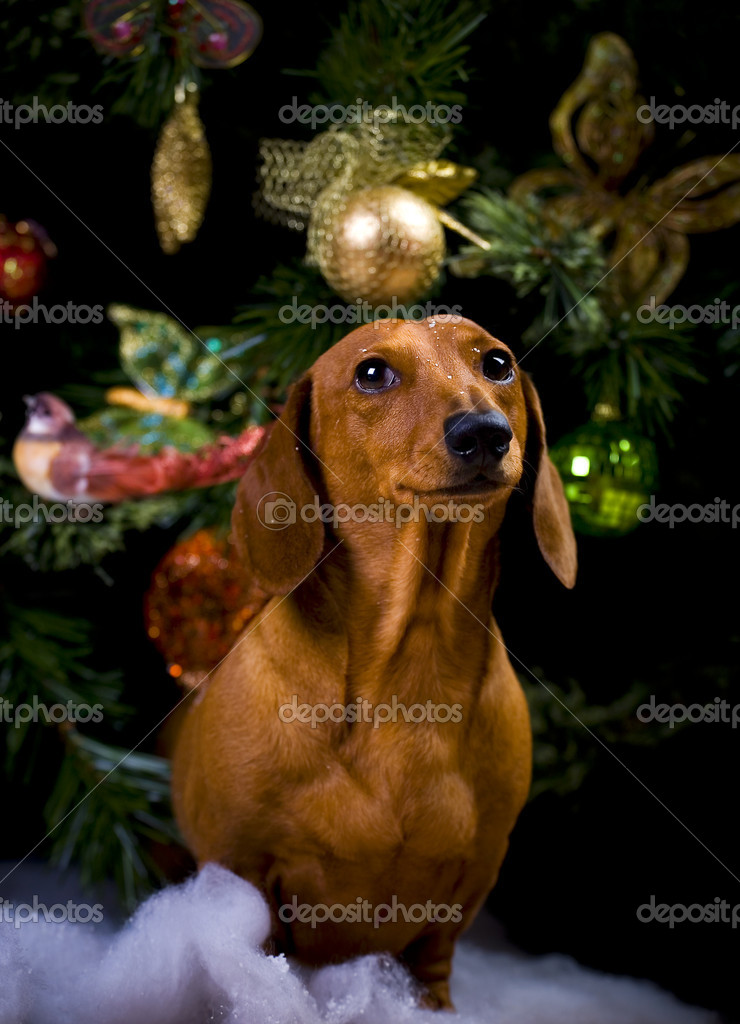 Dogs in studioHappy new year   Stock Photo #7605758