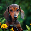 Dachshund in park — Stock Photo