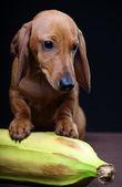 Perro salchicha y banan — Foto de Stock