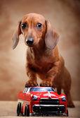 Dachshund and car — Stock Photo
