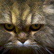 Stock Photo: Maine Coon