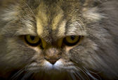 Maine Coon — Foto Stock