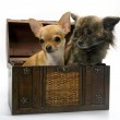Dogs in the box — Stock Photo