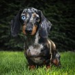 marble dachshund — Stock Photo