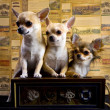 Chihuahua trio — Stock Photo