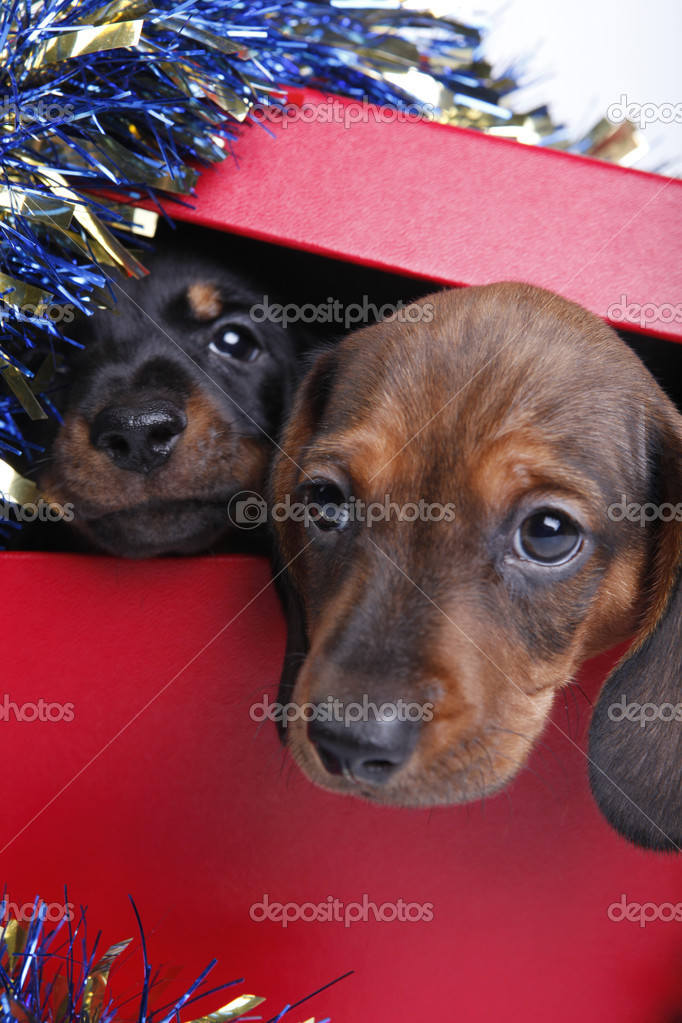 Dogs in studioDogs in boxdachshund in studiodachshund in box   Stock Photo #7739325