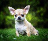 Chihuahua en el jardín — Foto de Stock