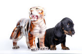 Dog and tiger — Stock Photo