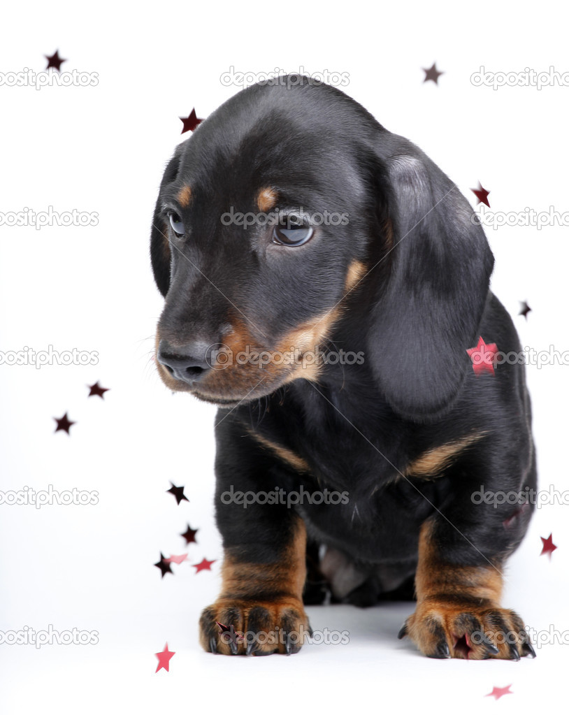 Stars puppy dachshund studio shoot  Stock Photo #7797570