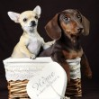 dogs in box — Stock Photo