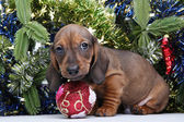 Dachhund — Foto de Stock