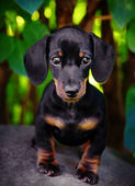 Dachshund in the garden — Stock Photo