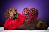 Dachshund and heart — Stockfoto