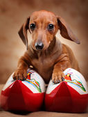 Dachshund with Hollands boots — Stock Photo