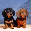 Dachshunds — Stock Photo