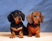 Dachshunds — Foto de Stock