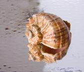 Concha marina — Foto de Stock