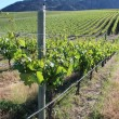 Grapevines in the early Spring — Stock fotografie