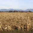 Dormant Corn Field in Fraser Valley — Stock Photo #7933227