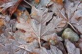 Frostiga lönnlöv — Stockfoto
