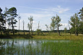 Wetland with old birch — Stock Photo