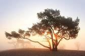 Pine-tree at sunrise — Stock Photo