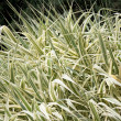 Stock Photo: Ornamental Grass Carex
