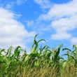 Royalty-Free Stock Photo: Corn and sky