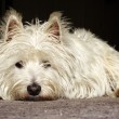 Doleful westie - Foto Stock
