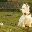 Royalty-Free Stock Photo: Ball and terrier
