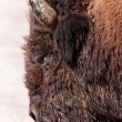 Royalty-Free Stock Photo: Bison Head