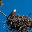 Bald Eagle — Stock Photo #7604977