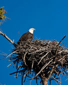 Bald Eagle — Foto Stock
