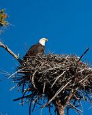 秃头鹰 — 图库照片