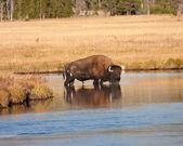 Bison — Foto Stock