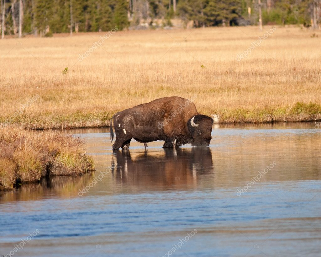 Bison in river during fall in Yellowstone park — Stock Photo #7619118