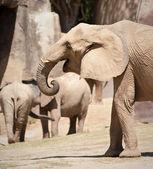 African Elephants — Photo
