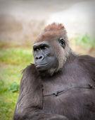 Female Gorilla — Stock Photo