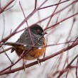 Spotted Towhee — Stock Photo #7630220