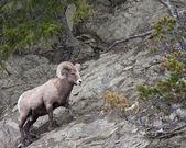 Bighorn Sheep Ram — Stock Photo