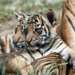 Stock Photo: Tiger Cubs
