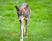 Red Wolf — Stock Photo