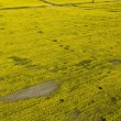 Aerial view of yellow rapeseed (Brassica napus) field affected b — Stock Photo