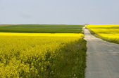 Lonely road between fields of yellow rapeseed (Brassica napus) f — Stock Photo