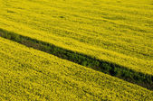 Aerial view of yellow rapeseed field with dry irrigation channel — Stock Photo