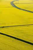 Aerial view of yellow rapeseed (Brassica napus) fields with dry — Stock Photo