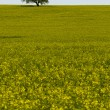 Field of yellow rapeseed (Brassica napus) flowers and single tree — Stock Photo