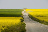 Car driving on road between rapeseed fields — Stock Photo